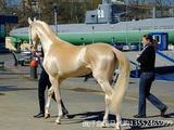【分享】网络最火世界上最好的汗血宝马,此马已经属于阿曼国王。